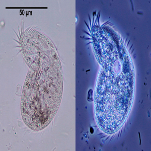 Microscópio Contraste de Fase